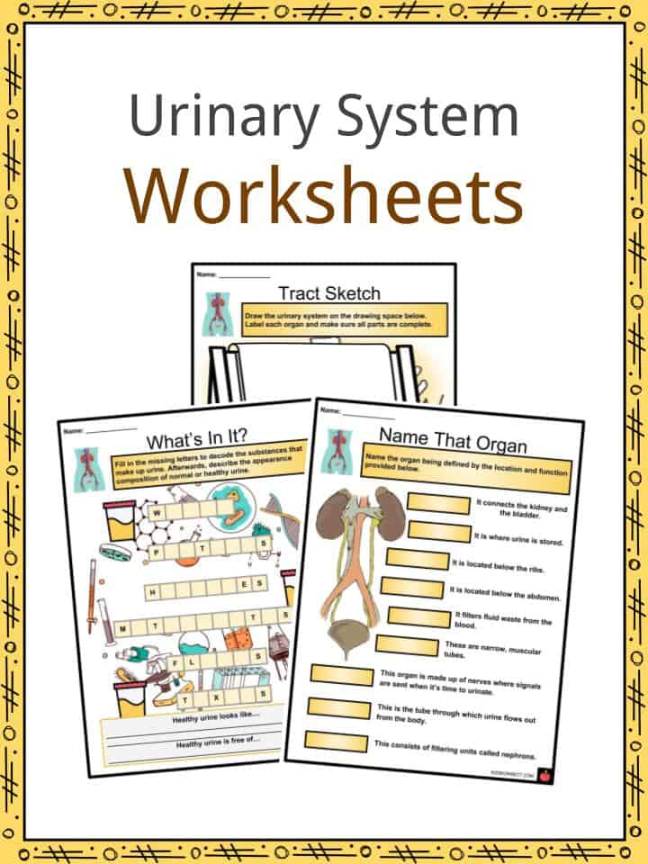 Urinary System Facts, Worksheets, Functions, Parts