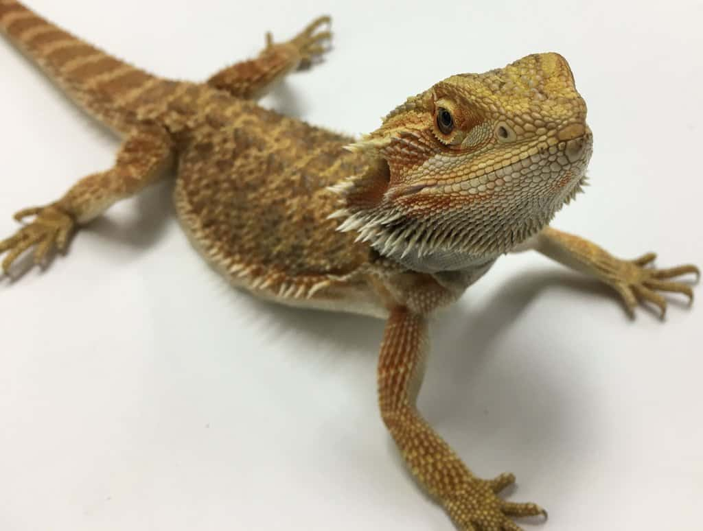 Bearded Dragon Facts Worksheets Species Habitat Diet For Kids