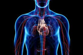 circulatory-system-facts