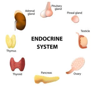 endocrine-system-facts