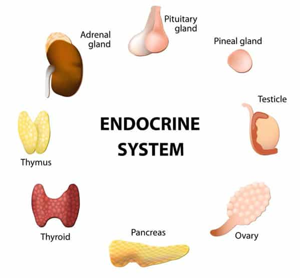 The Endocrine System Facts, Worksheets, Glands, Diseases & Disorders