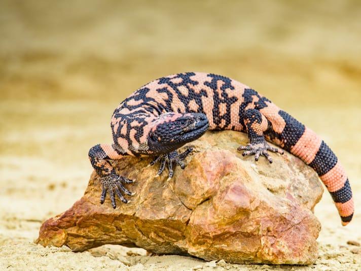 Gila Monster Facts, Worksheets, Habitat, Diet, Venom For Kids