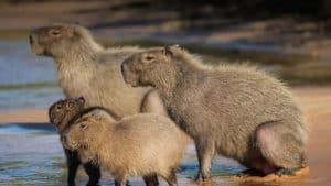 capybara-facts