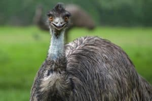 emu-facts
