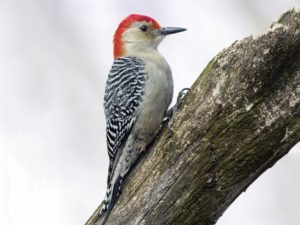 woodpecker-facts