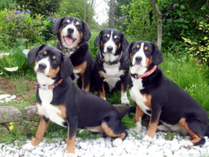 appenzeller-dog-facts