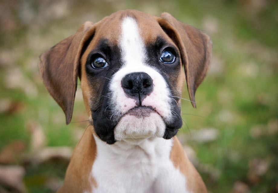 boxer-dog-facts