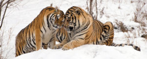 siberian-tiger-facts