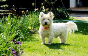 west-highland-terrier-facts