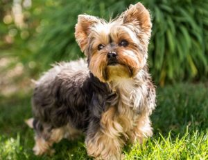 yorkshire-terrier-facts