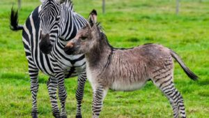 zonkey-facts