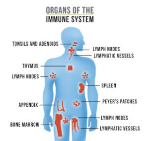 immune-system-facts
