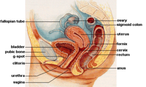 reproductive-system-facts