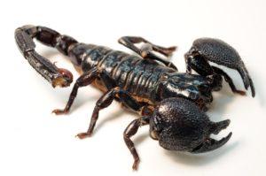 scorpion-facts