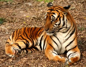 south-china-tiger-facts