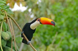 toucan-facts