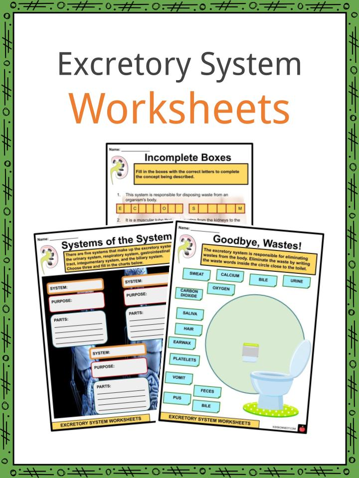 Excretory System Worksheets