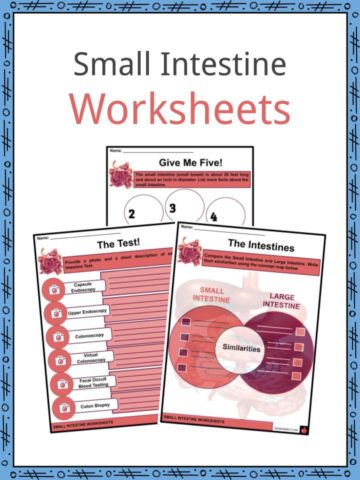Small Intestine Worksheets