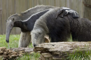 anteater-facts